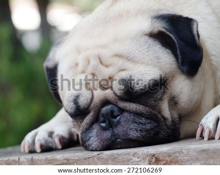 lovely lonely white fat cute pug dog laying on the wood table floor making sadly face with home outdoor surrounding bokeh background under morning sunlight - stock photo