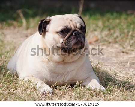 lovely lonely white fat pug dog laying on the floor making sadly face with home outdoor surrounding bokeh background - stock photo