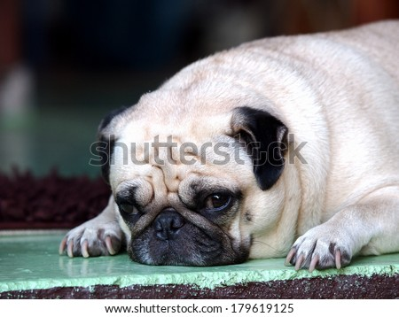 lovely lonely white fat pug dog laying on the floor making sadly face with home outdoor surrounding bokeh background