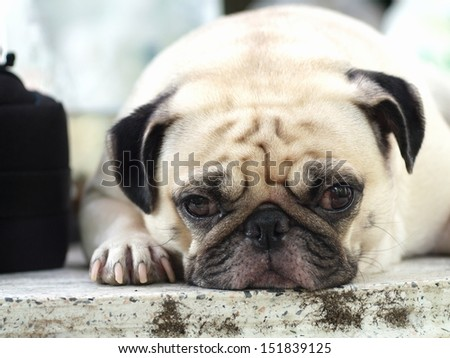 lovely lonely white pug dog laying on a floor