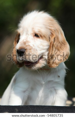 Lovely looking puppy of english cocker spaniel on black background