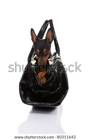 lovely miniature  pincher siting in woman's bag, isolated on white background - stock photo
