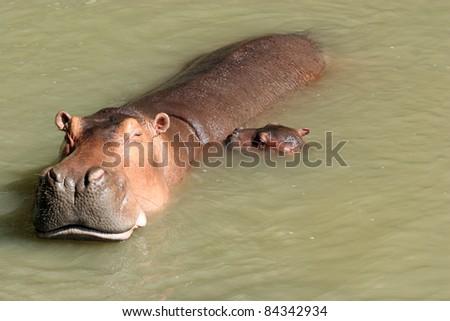 Lovely mom and child hippopotamus - stock photo