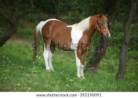 Lovely mottled pony standing on pasturage with halter and insects protecter - stock photo