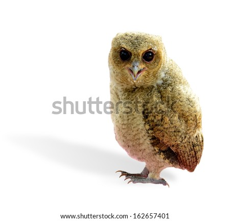 Lovely of Juvenile brown owl bird isolated on white background - stock photo