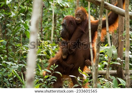 Lovely Orangutan family in the jungle of Borneo Indonesia. - stock photo