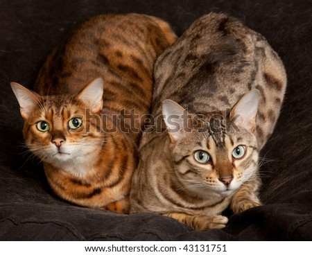 Lovely pair of bengal cats staring straight at the camera from their seat - stock photo