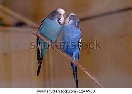 Lovely parakeet couple kissing - stock photo