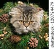 lovely Persian kitten in christmas tree with cones and golden beads - stock photo