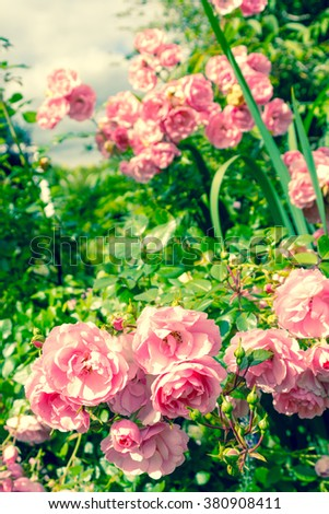 Lovely pink climbing roses in the garden