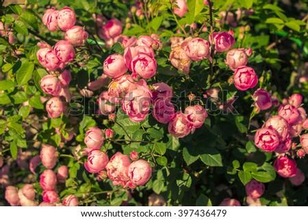 red eden rose stock images royalty free images vectors. Black Bedroom Furniture Sets. Home Design Ideas