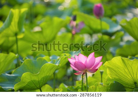 Lovely pink lotus flowers blooming among lush leaves in a pond under bright summer sunshine ~ Busy honey bees attracted by fragrance of waterlilies - stock photo