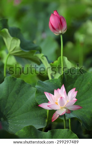 Lovely pink lotus flowers blooming in a pond of lush leaves  - stock photo