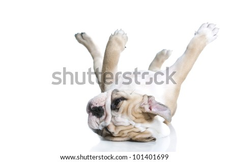 Lovely playful english bulldog puppy isolated - stock photo