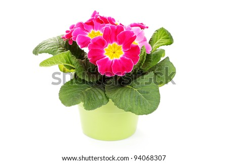 lovely primula on white background - flowers and plants