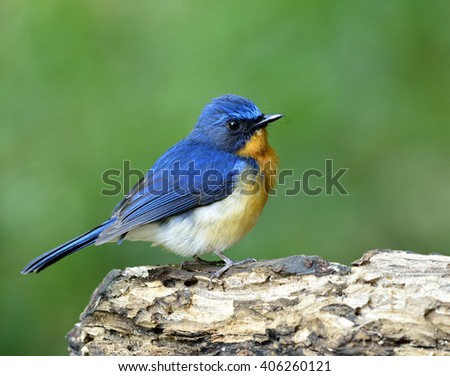 Lovely puffy blue and orange breast bird, Hill Blue Flycatcher (Cyornis banyumas) standing on the wooden with green blur background, happy bird