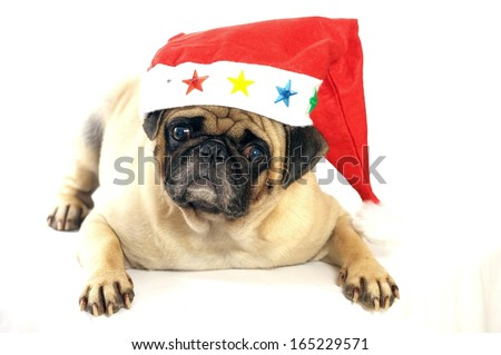 Lovely pug dog with red hat Isolated white background - stock photo