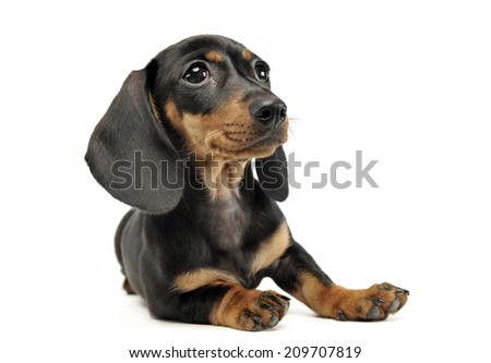 Lovely puppy Dachshund lying in white studio