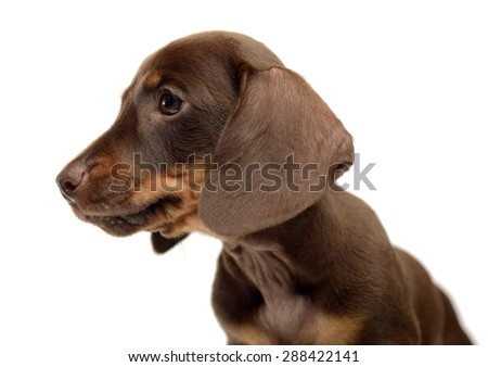 Lovely puppy dachshund portrait in white studio