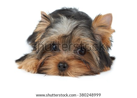 Lovely puppy of the Yorkshire Terrier isolated on white