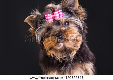 Lovely puppy of Yorkshire terrier with pink bow on dark background