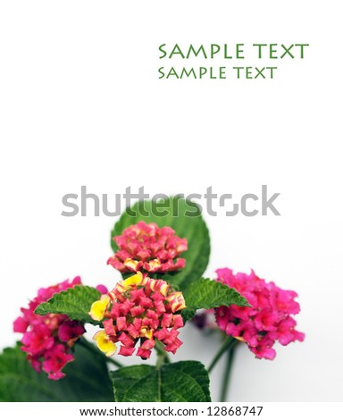 lovely red flowers and green leaves against white background - stock photo