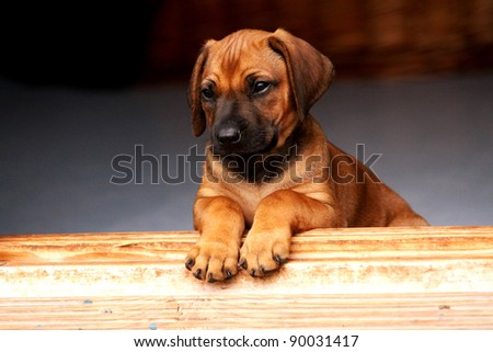 lovely rhodesian ridgeback puppy with cute expression in his face - stock photo