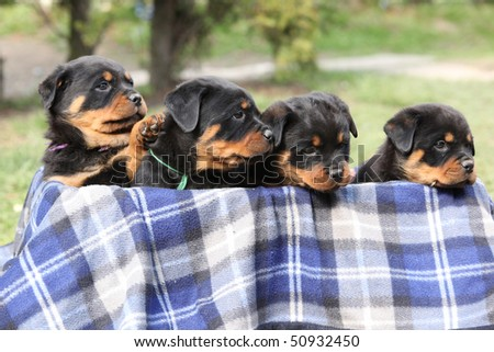Lovely Rottweiler Puppy