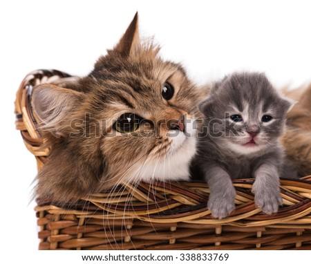 Lovely siberian cat with cute little kitten over white background - stock photo