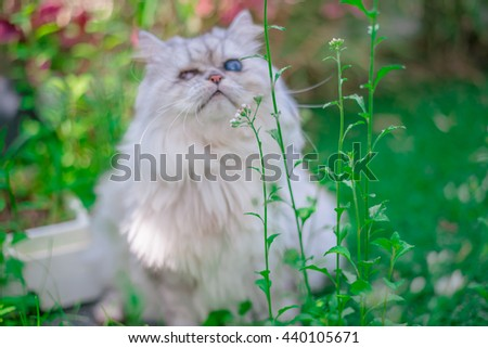 lovely Silver Persian friendly cat playing in the home garden with flower on grass, Animal portrait.  - stock photo