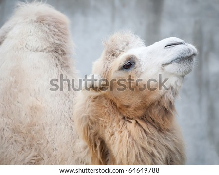 Lovely smiling camel with a hump, fluffy wool, the big eyes on a gray stone background