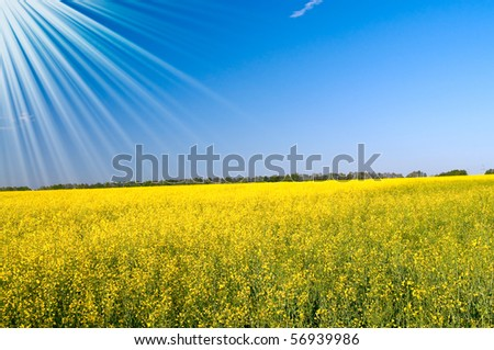 Lovely sunbeams above golden rapefield by springtime. - stock photo