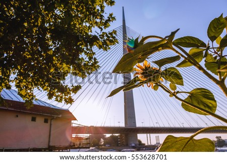 Lovely sunflower facing the bridge and sun on the warm day