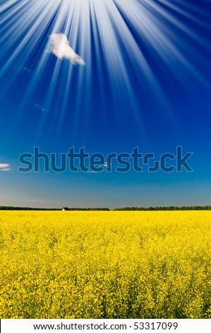 Lovely sunset above golden rapefield by springtime. - stock photo
