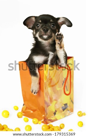 lovely sweet puppy chihuahua sitting into the present bag with yellow beeds isolated on white - stock photo