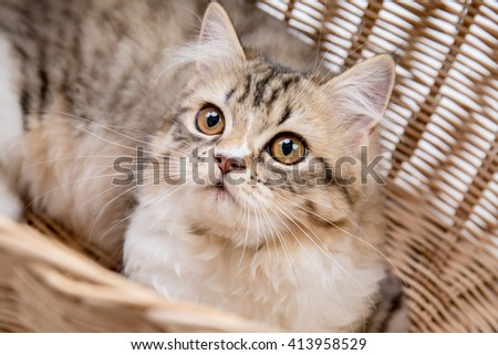 Lovely tabby persian cat playing in the basket - stock photo
