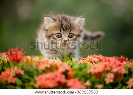 Lovely tabby Persian kitten walking on the flower field