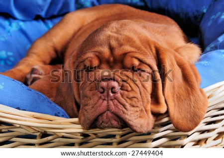 Lovely Two Months Old Dogue De Bordeaux (French Mastiff) Puppy Sleeping Sweetly in Her Comfortable Baby Bed - stock photo
