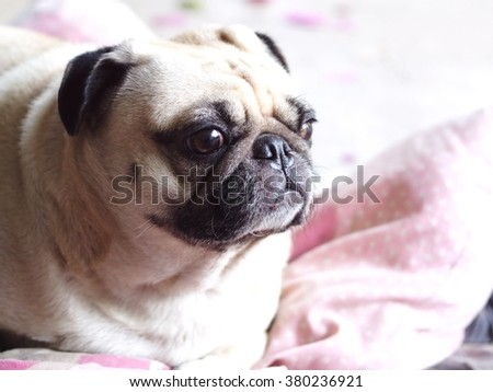 lovely white fat cute pug dog face close up lying on a big soft pink dog bed pillow outdoor making sad face under natural sunlight.