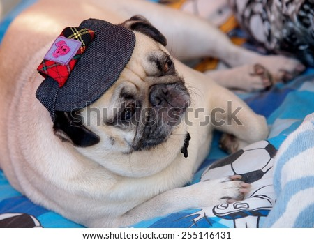 lovely white fat cute pug dog face close up wearing dark blue dog hat cap lying on a big soft blue pillow outdoor making sad face under natural sunlight. - stock photo