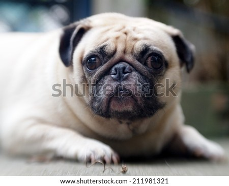 lovely white fat cute pug face head shot close up lying on the concrete floor outdoor making sad face under natural sunlight and nice green bokeh background, picture taken with Lensbaby - stock photo