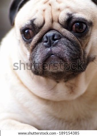 lovely white fat pug dog head shot close up sitting on a table making sad face under morning light and nice outdoor bokeh background