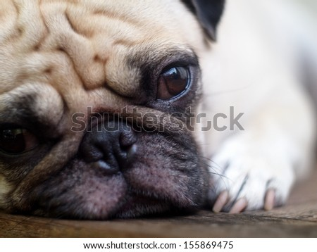 lovely white fat pug head shot close up lying on a table making sad face looking at camera - stock photo