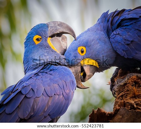 Loving Blue Hyacinth macaws in Pantanal, Brazil