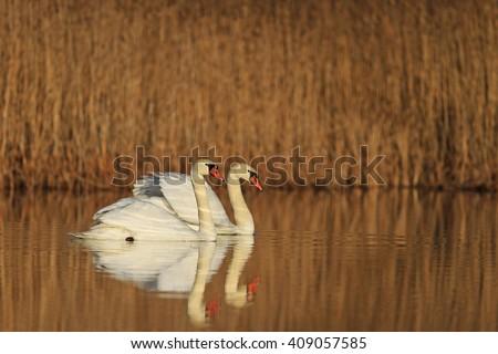 Loving couple swans, white bird on the water spring chores, birds - stock photo