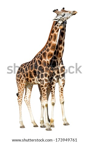 loving giraffes isolated on white background