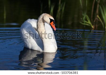 loving swan - stock photo