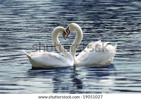 loving swans forming a heart - stock photo