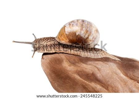 Low angel side view of garden snail (Helix pomatia) resting on rock, isolated on white  - stock photo