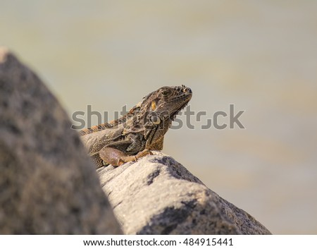 Low angle closeup with selective focus Iguana on boulders against soft focus sky. Atlantic Coast of Key West Florida